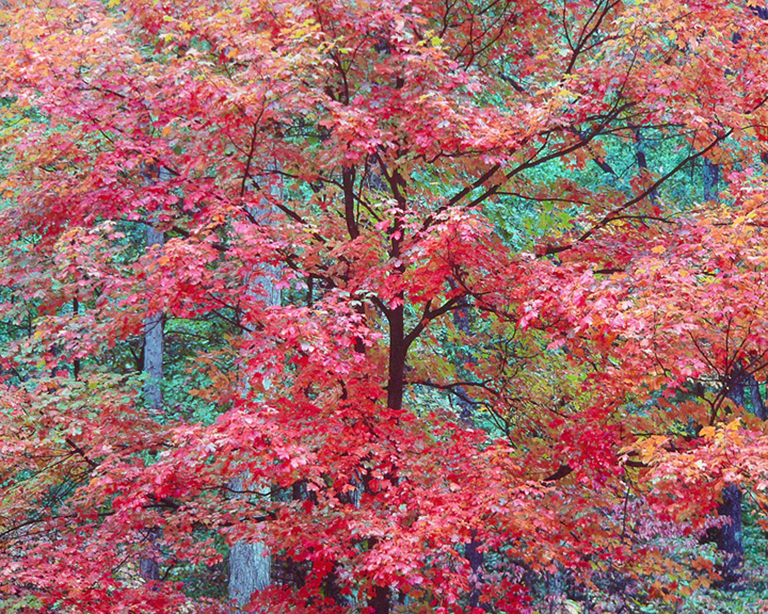"""Christopher Burkett   """"Cerise Red Maple,"""" Kentucky    Cibachrome Photograph    Available in 20"""" x 24"""", 30"""" x 40"""", and 40"""" x 50"""""""