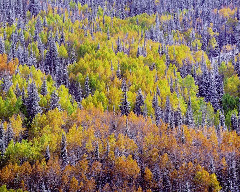 "Christopher Burkett ""Chromatic Aspen & Spruce, Mountainside,"" Colorado    Cibachrome Photograph    Available in 20"" x 24"", 30"" x 40"", and 40"" x 50"""