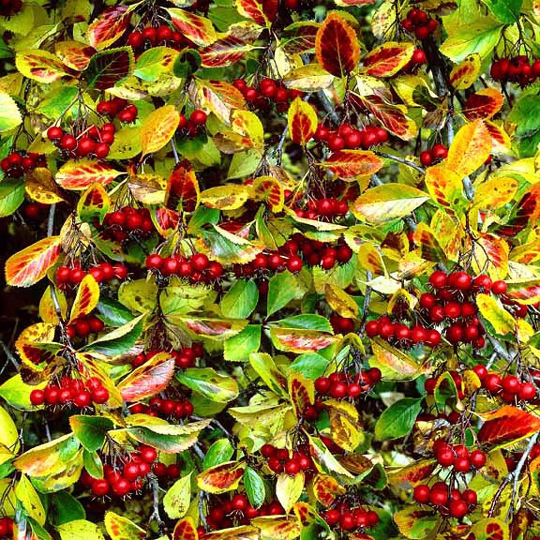 "Christopher Burkett   ""Crimson Hawthorn Berries,"" Oregon    Cibachrome Photograph    Available in 20"" x 20"", 30"" x 30"", and 40"" x 40"""