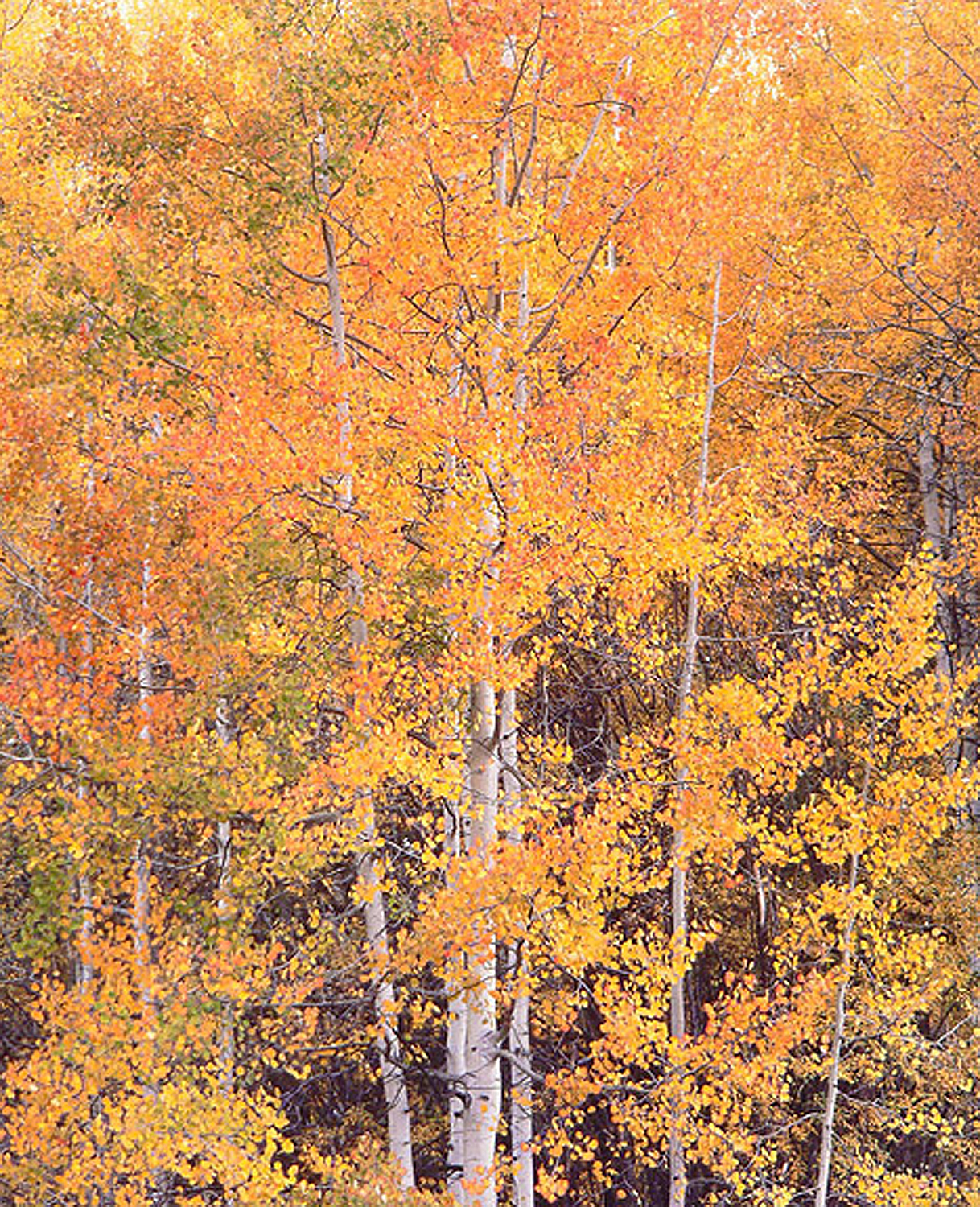 """Christopher Burkett """"Crystal River Aspens,"""" Colorado    Cibachrome Photograph    Available in 20"""" x 24"""", 30"""" x 40"""", and 40"""" x 50"""""""