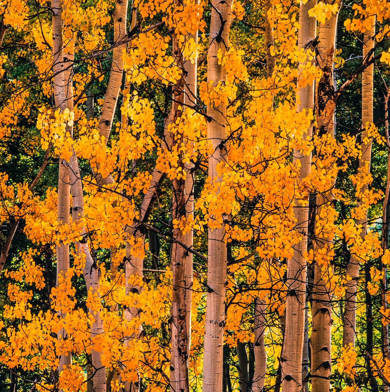 """Christopher Burkett """"Cheerful Aspens"""" Tennessee    Cibachrome Photograph    Available in 20"""" x 20"""", 30"""" x 30"""", and 40"""" x 40"""""""