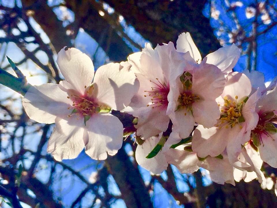 Ibiza almond blossoms