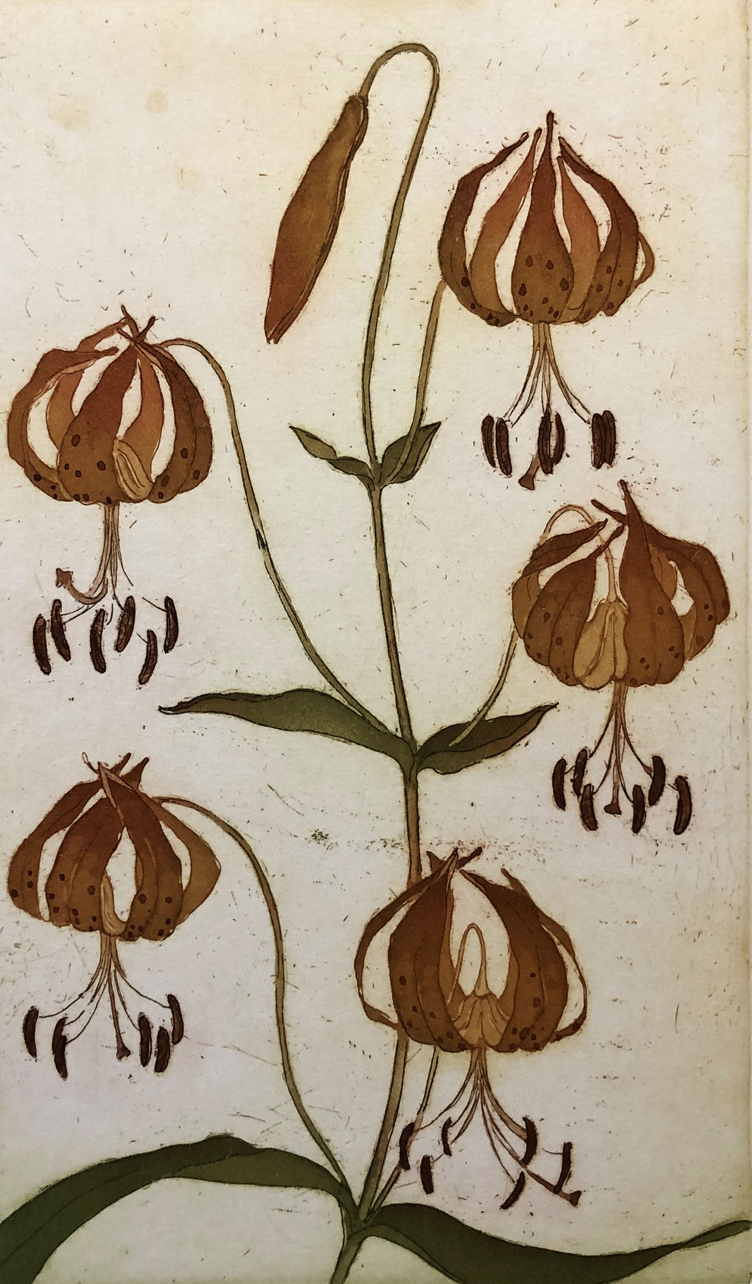 Lilium Pardalinum