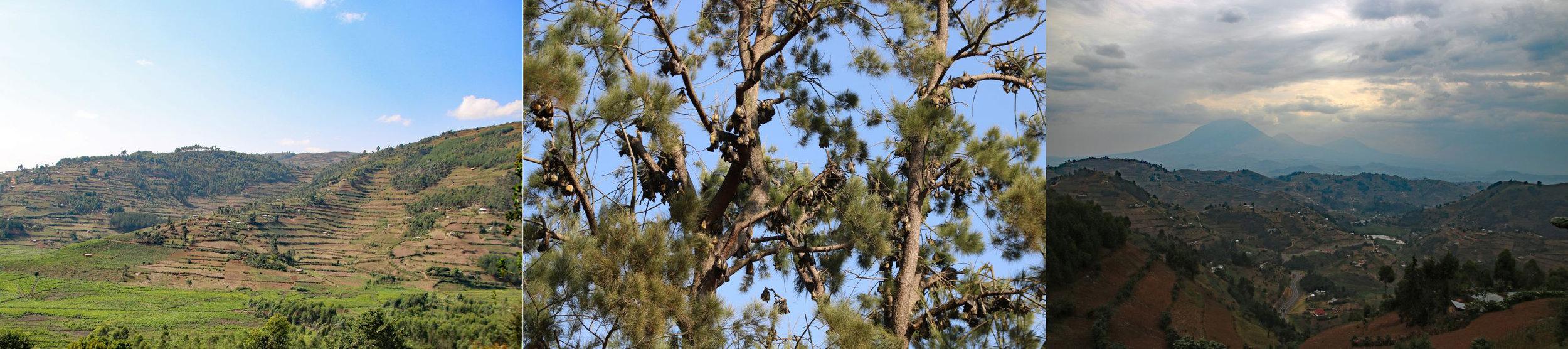 Muko terraced fields; Fruit bats in tree; Mt. Muhabura on border with Rwanda and DRC