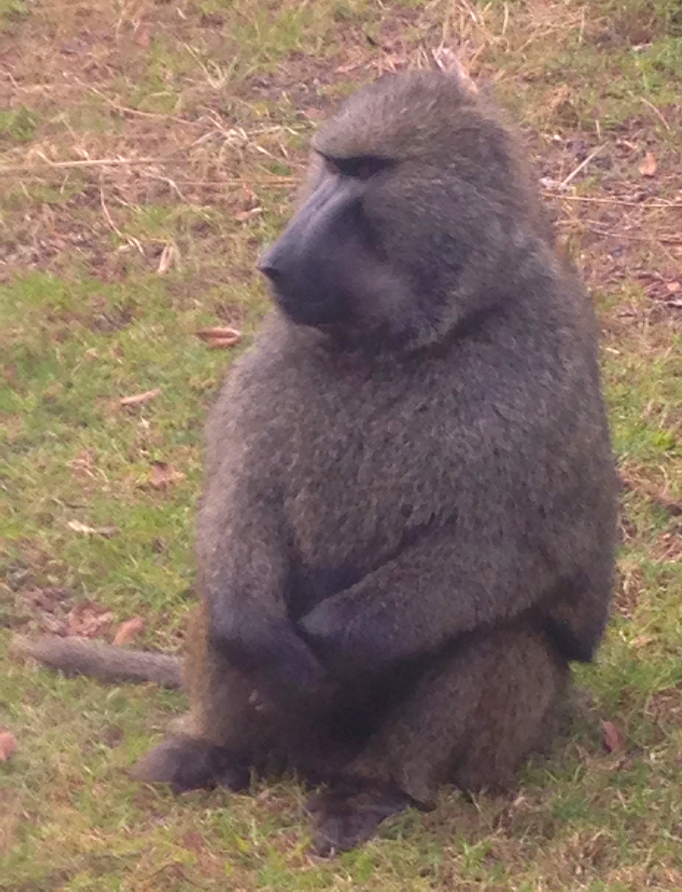 "Male dominant baboon that kept stealing bananas from ""the girls"""