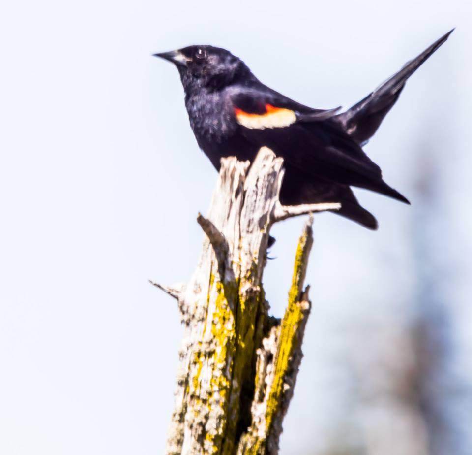 len jerrard bird1 rw blackbird.jpg