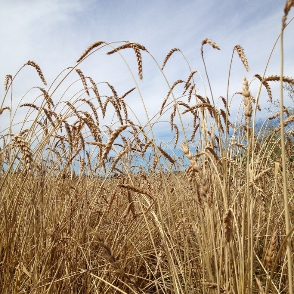 """Hudson Bay"" White Lammas Wheat"