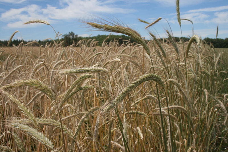 Ripe wheat on Camas Country Mill in Central Oregon, Courtesy Tom Hunton and modernfarmer.com