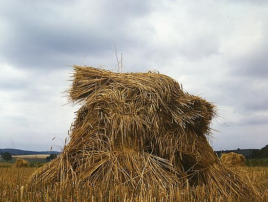 John Collier,  Wheat Shocks in Pennsylvania  (1939)