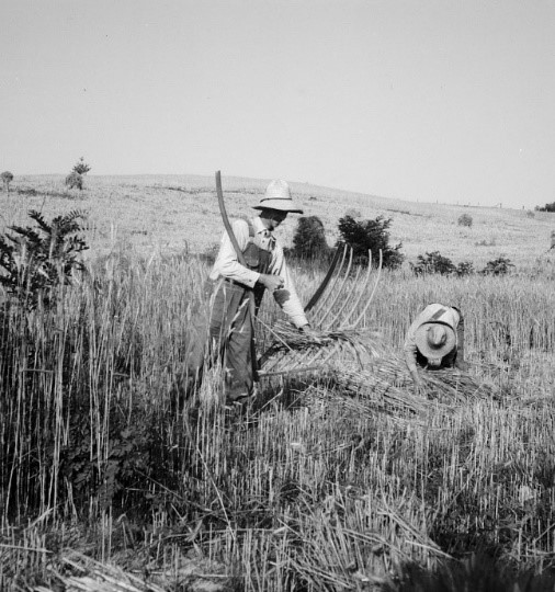 Dorothea Lange,  Cradling Wheat near Christianburg, Virginia  (1936)