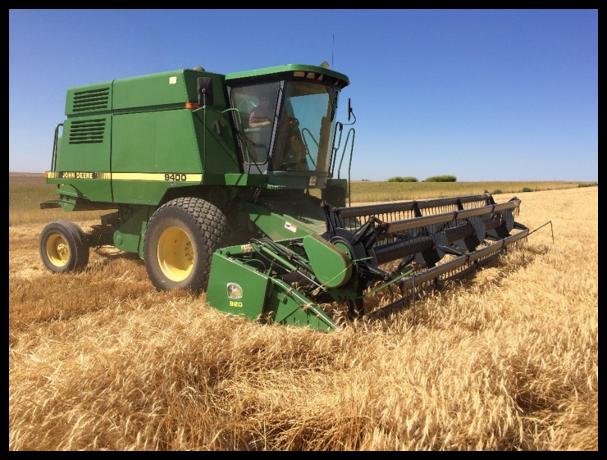 Harvesting Organic Turkey Red Wheat;  Scene of the Great Yellow Jacket Harvest Battle