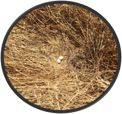 Marsh Hawk Stubble Nest