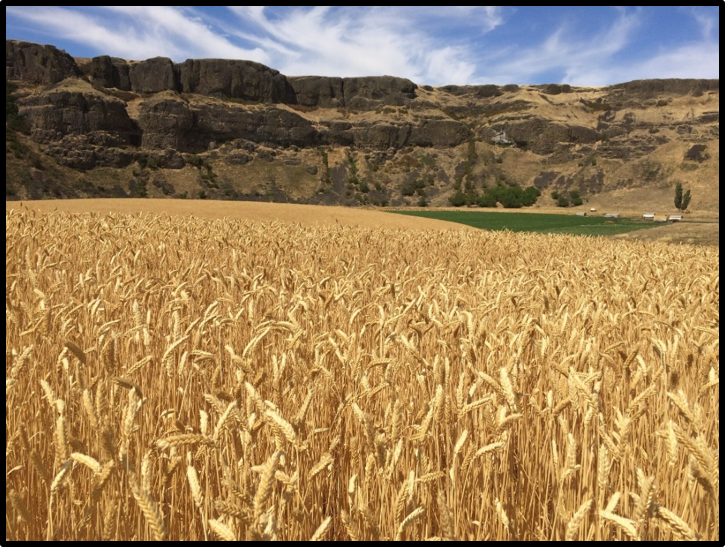 Palouse Heritage Red Russian Wheat;  Delong Palouse River Ranch