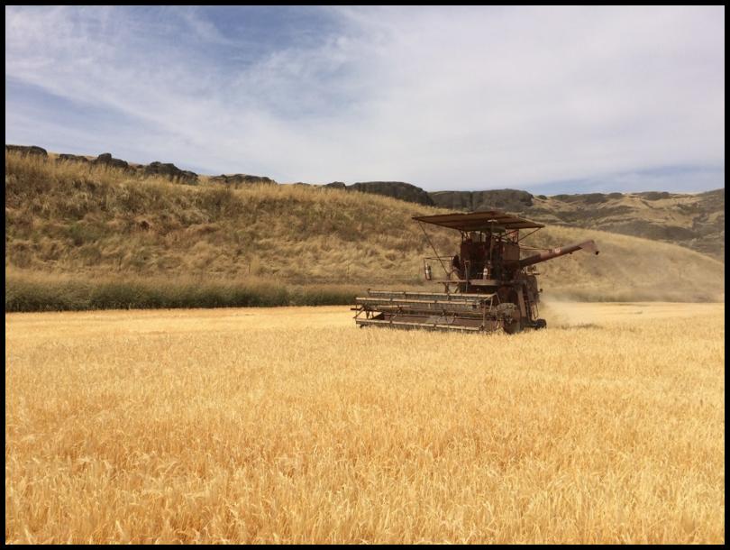 Harvesting Palouse Heritage Scots Bere Barley at Delong's