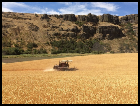 Joe navigating through a sea of Palouse Heritage wheat at DeLong Ranch (2017)