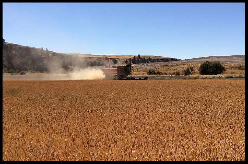 Harvesting Crimson Turkey Wheat (2017),  Palouse Colony Farm; Endicott, Washington