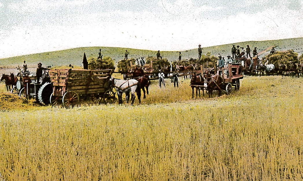 A Northwest Harvest Scene Postcard, c. 1910,   Palouse Heritage Collection