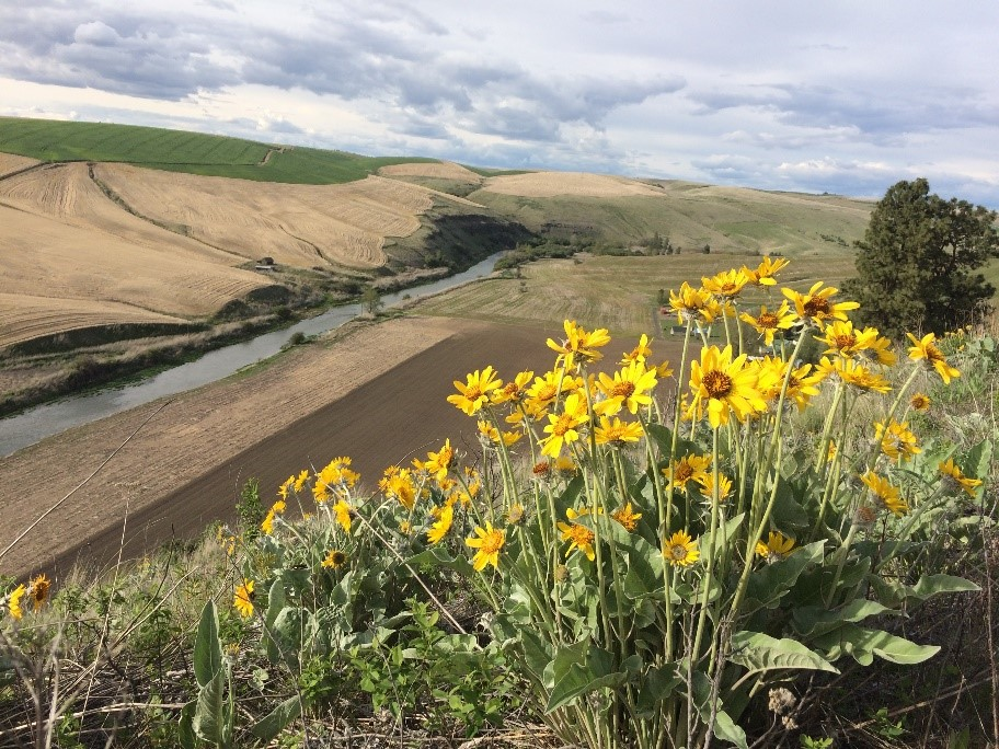 Palouse Colony Farm Native Lupine and Yellow Balsamroot
