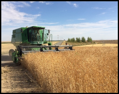 Palouse Heritage Yellow Breton Wheat Harvest near Connell, Washington (July, 2018)