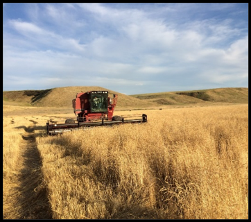 Palouse Heritage Red Fife Wheat Harvest (July, 2018)