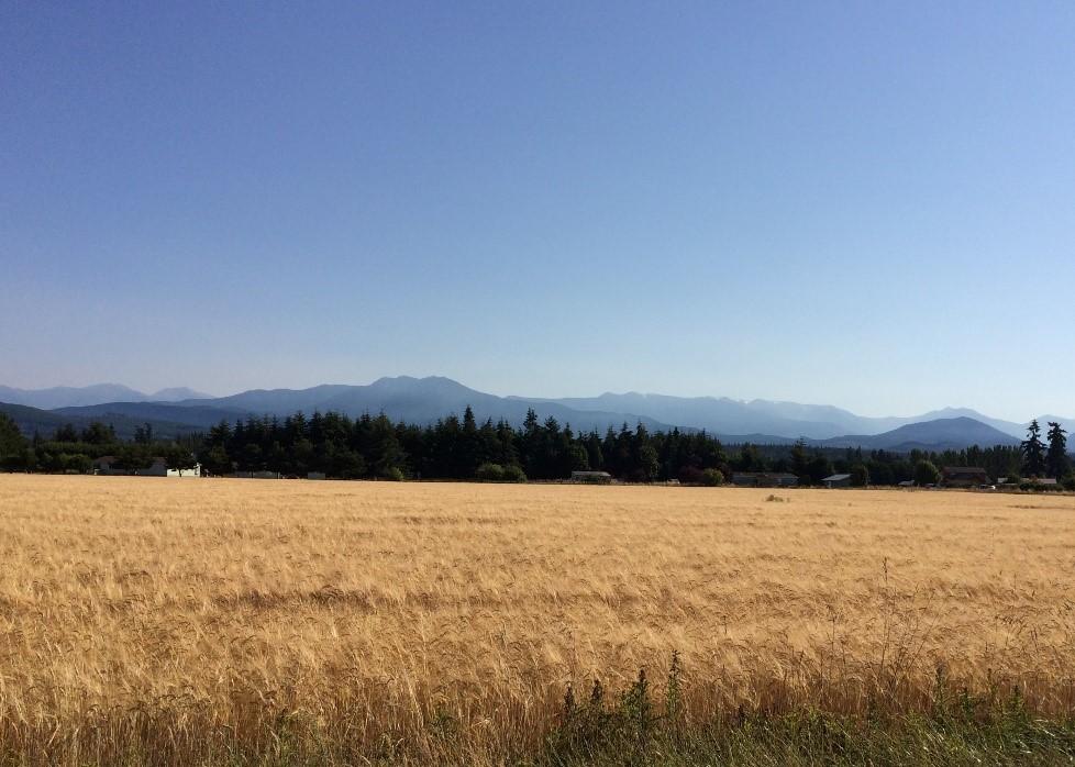 Barley Field near Sequim on Washington's Olympic Peninsula (2018)