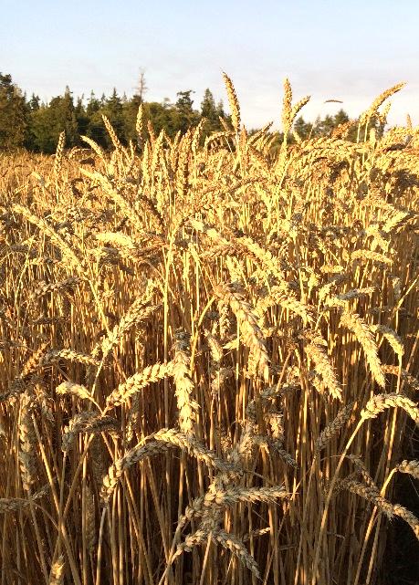 Early American Mediterranean Red Wheat Test Plot