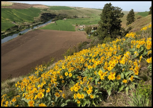 Arrowhead Balsamroot overlooking Palouse Colony Farm