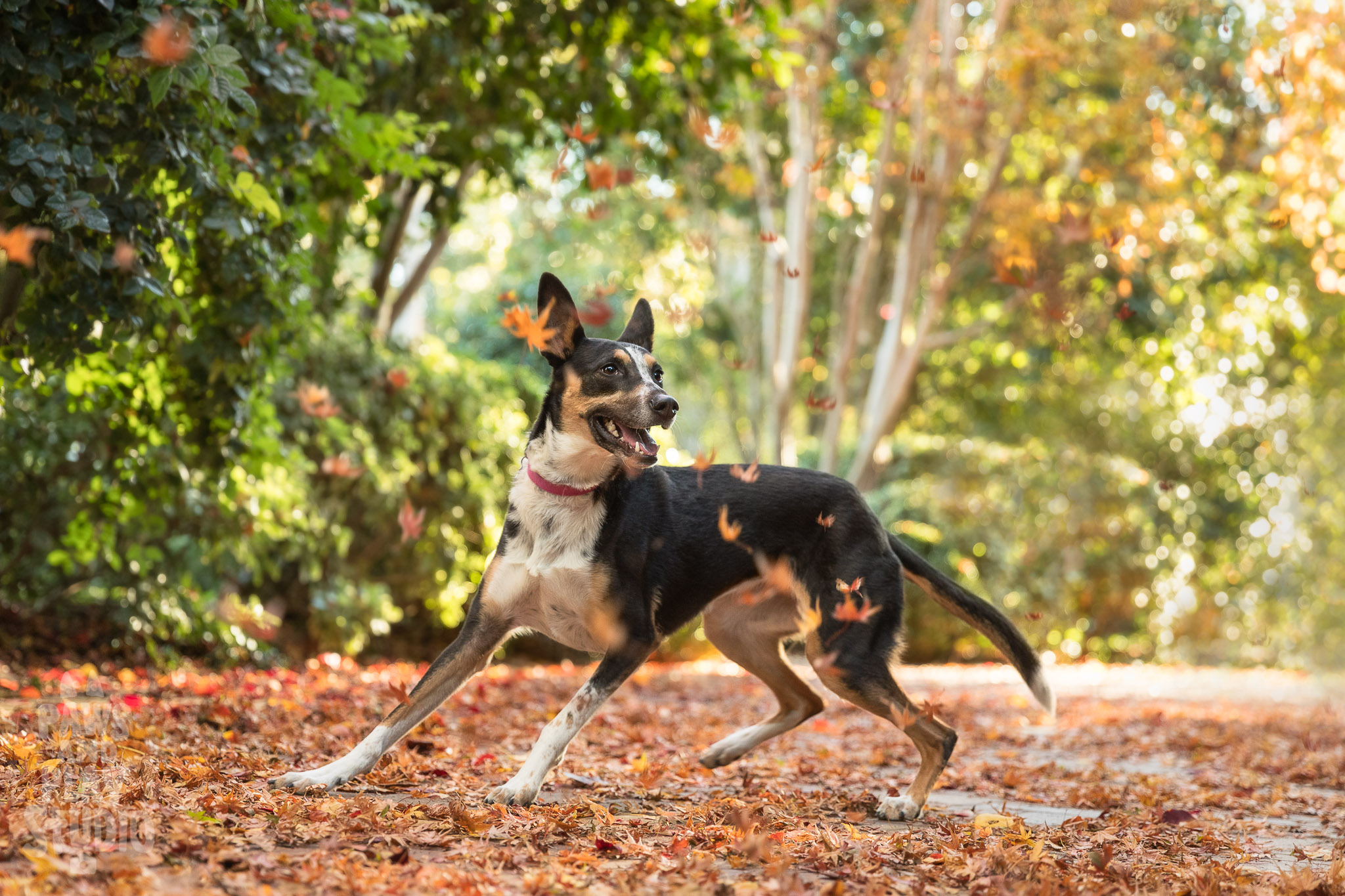 San-Francisco-Dog-Photographer-Cattle-Dog-Mix.jpg