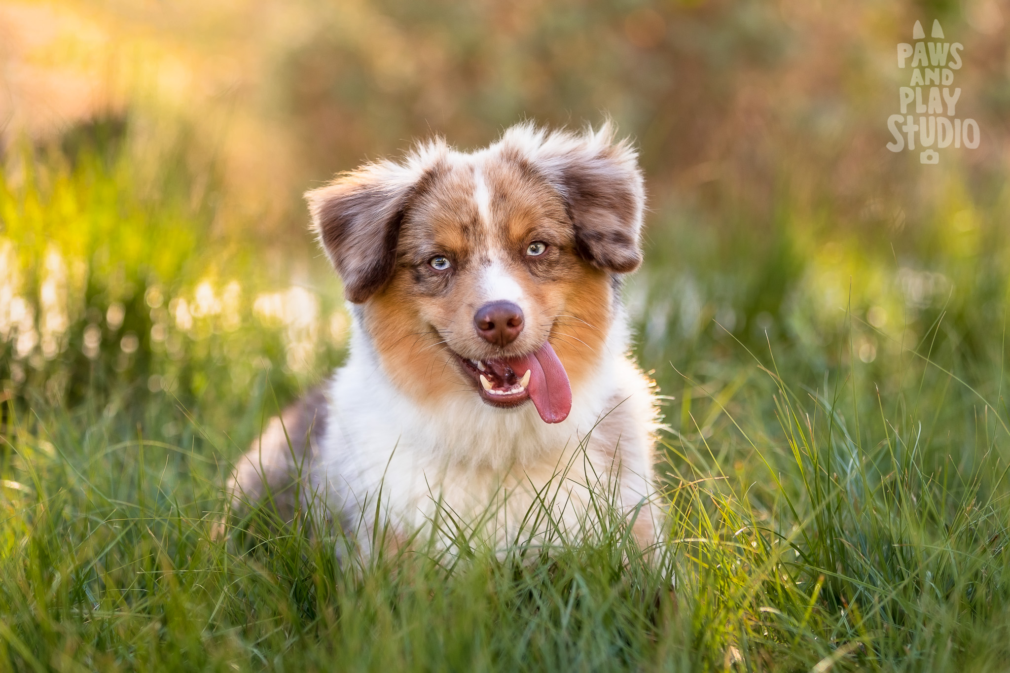Bay-Area-Dog-Photographer-Mini-Aussie.jpg