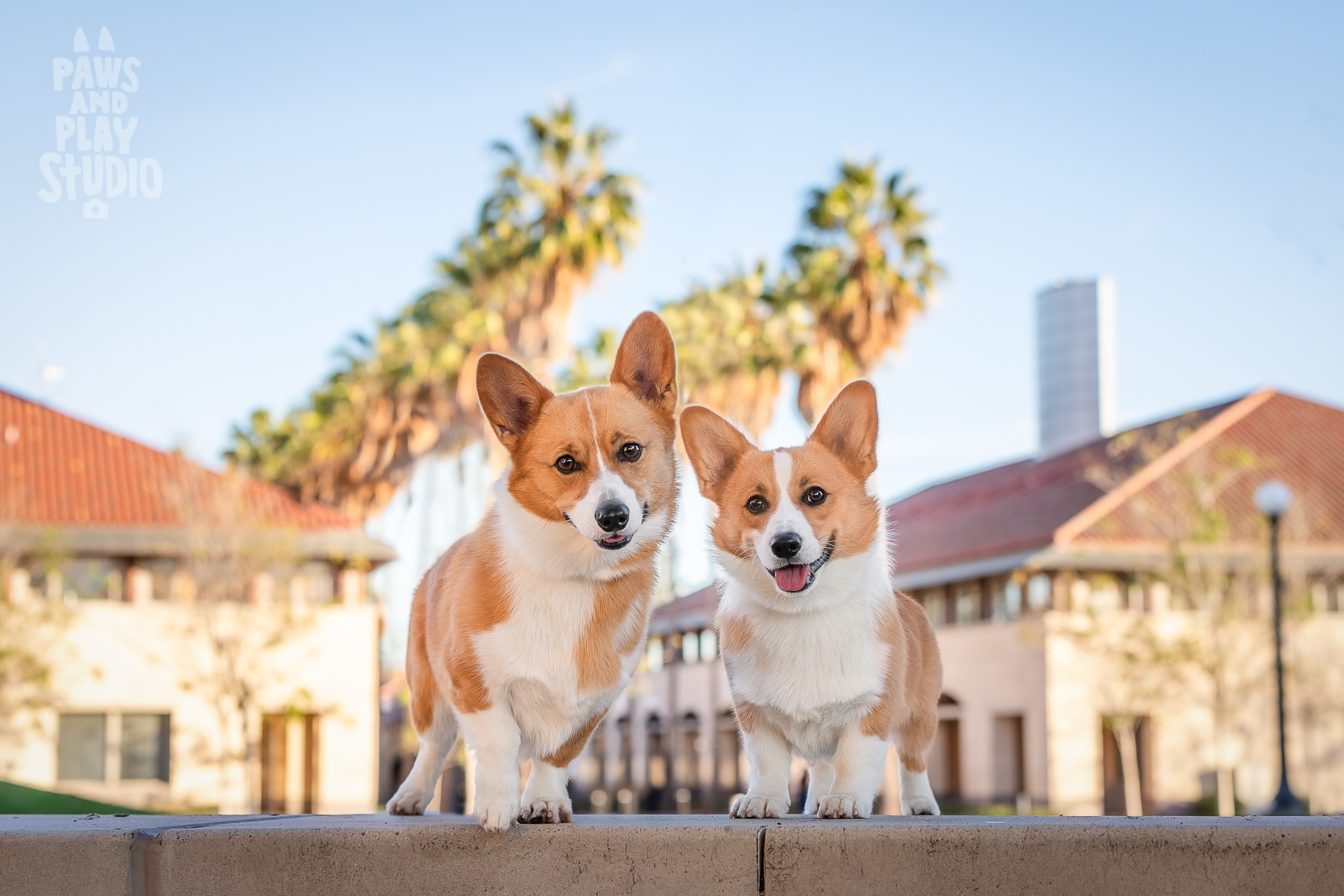 San-Francisco-Dog-Photographer-Corgi.jpg