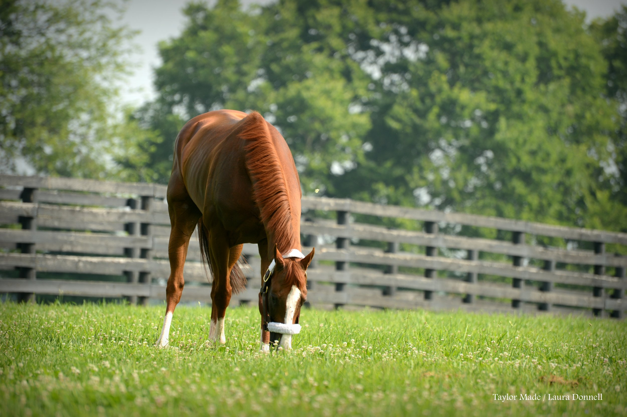 California Chrome grazing at Taylor Made Farm. Credit: Laura Donnell/Taylor Made