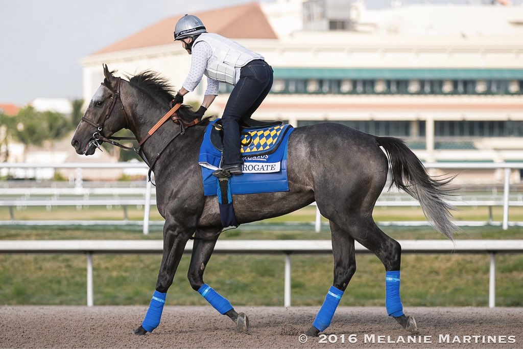 Arrogate prepares for the Pegasus World Cup as he trains under his exercise rider on Thursday morning at Gulfstream Park. Credit: Melanie Martines, www.melaniemartines.com.