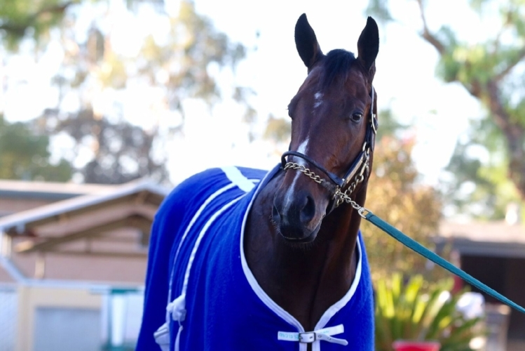 Named for Olympic sprinting icon Usain Bolt, the undefeated Bolt d'Oro is the expected favorite in the Breeders' Cup Juvenile. Bolt d'Oro is training at Santa Anita in preparation for the race. (Photo courtesy of Santa Anita)