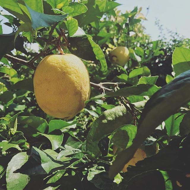 När det växer citroner i trädgården! Vi tar med oss alla C-vitaminer till er när vi öppnar som vanligt igen den 11 augusti! Vi har fram tills dess öppet ons-sön. Se öppettider på hemsidan!