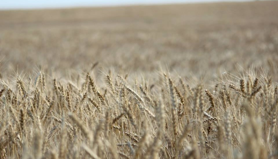 Wheat Fields of Pawnee County | Jamie Froetschner