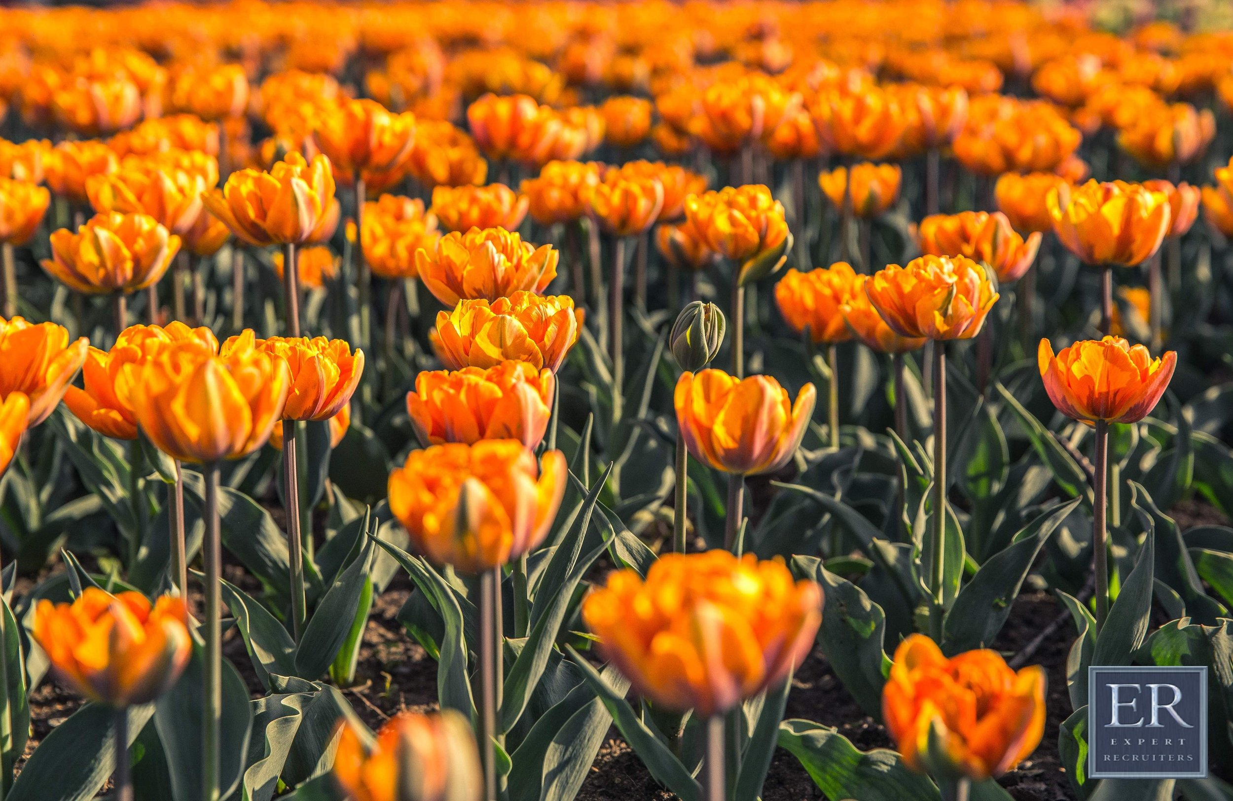 field-of-orange-flowers (1) with logo.jpg