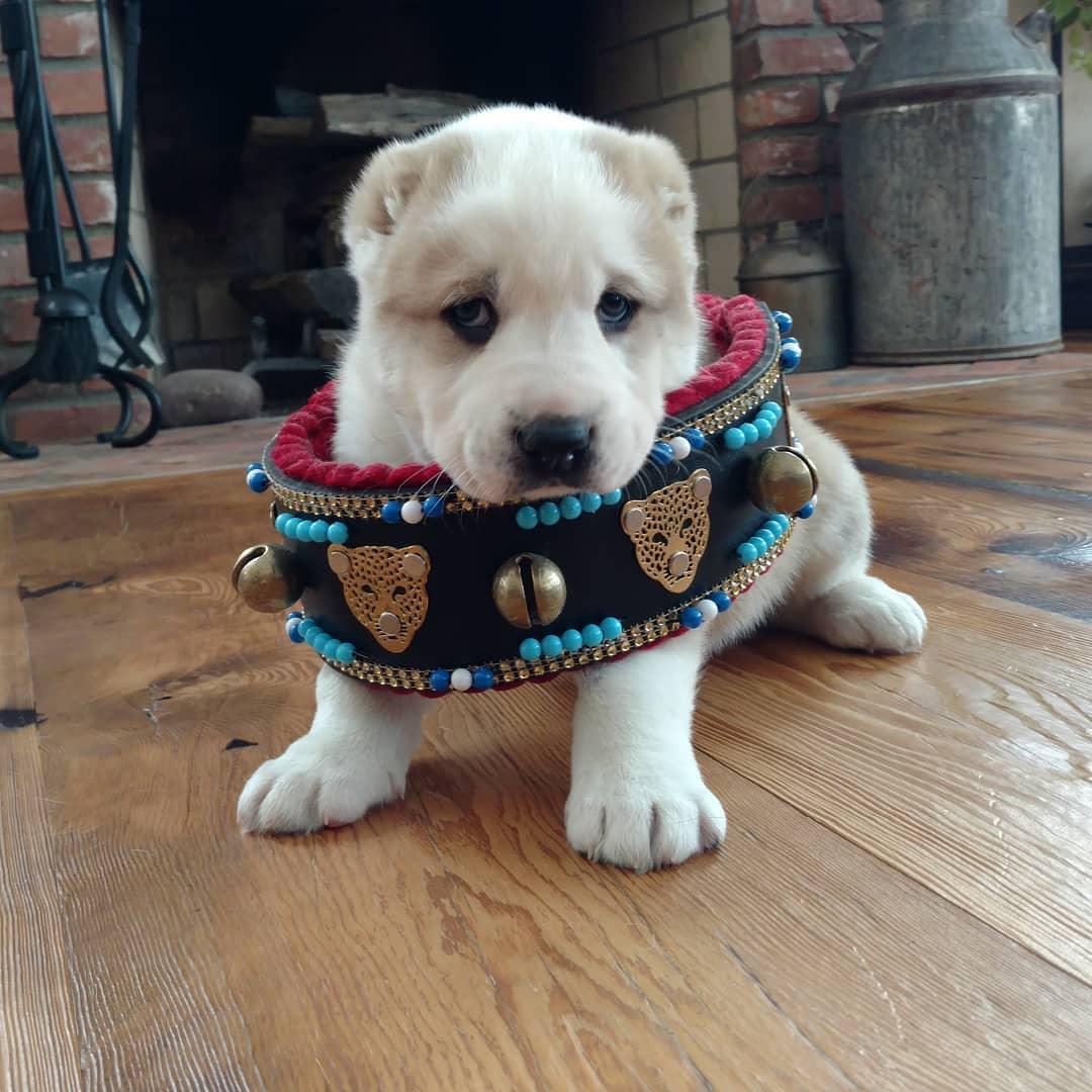 central asian shepherd puppy