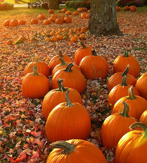 132562-Pumpkin-Patch.jpg