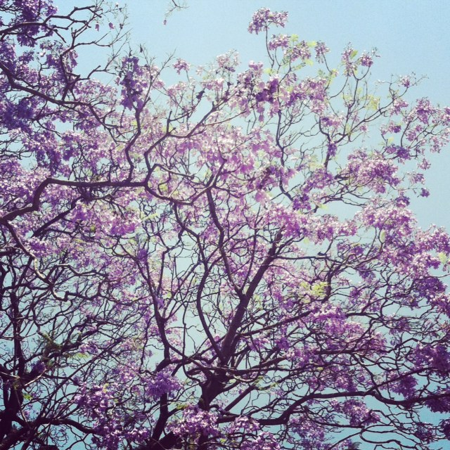 Jacaranda April 2013.JPG