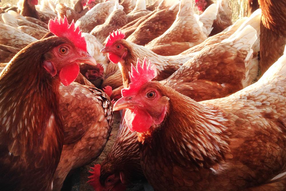 Chickens-2-web.jpg