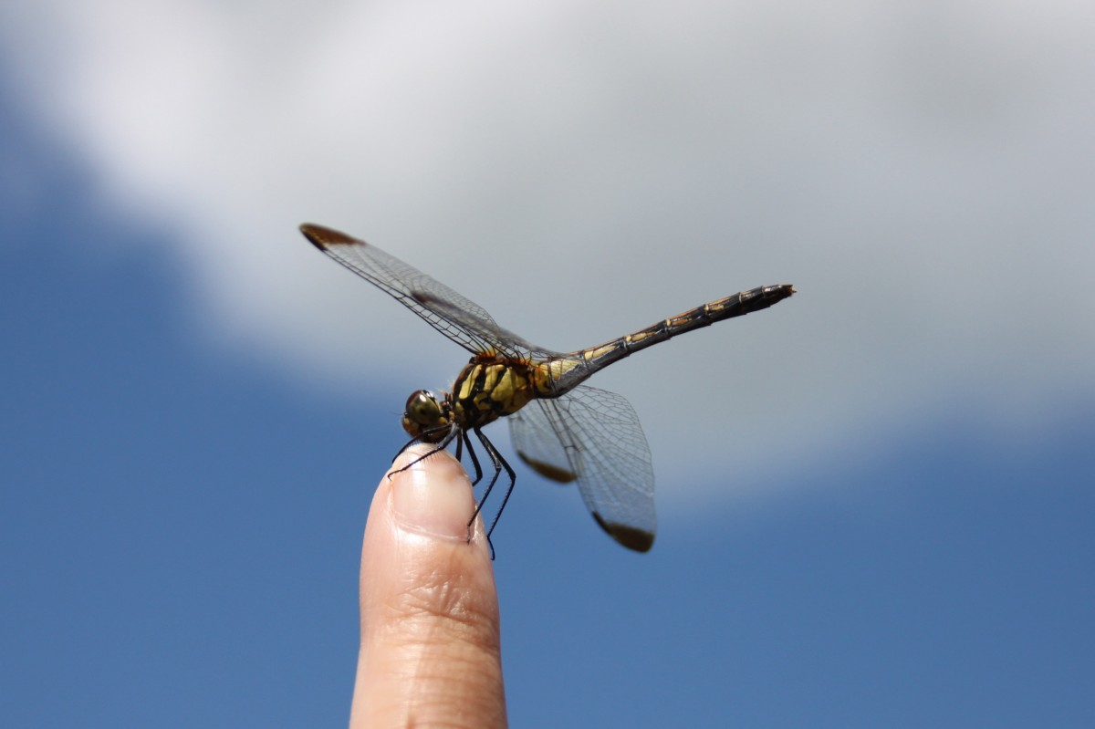 dragonfly_iwate_blue_sky_insect_blue_summer_vacation_japan-1334130.jpg!d.jpeg