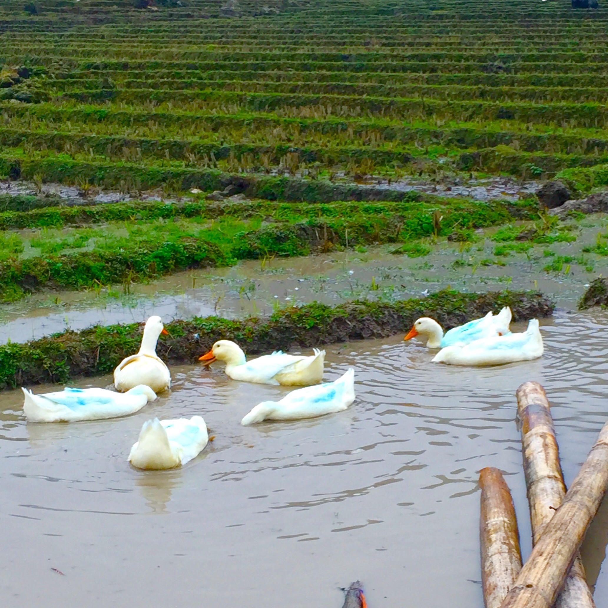 These ducks are sporting blue feathers, caused by the indigo dye that the Hmong Tribe uses to color their clothing and garments. Billy Madison, I found your blue duck.