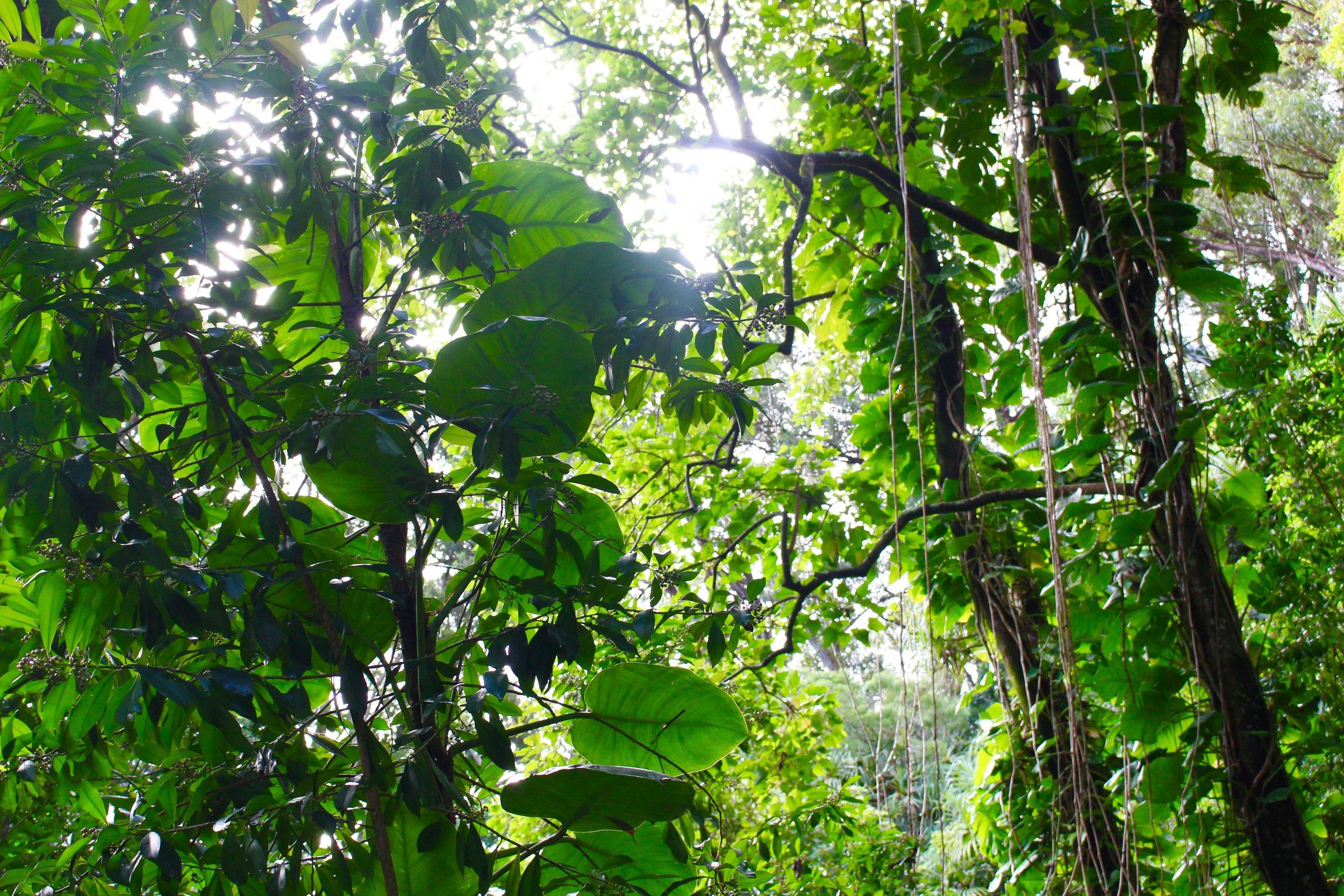 The Waikamoi Ridge Trail