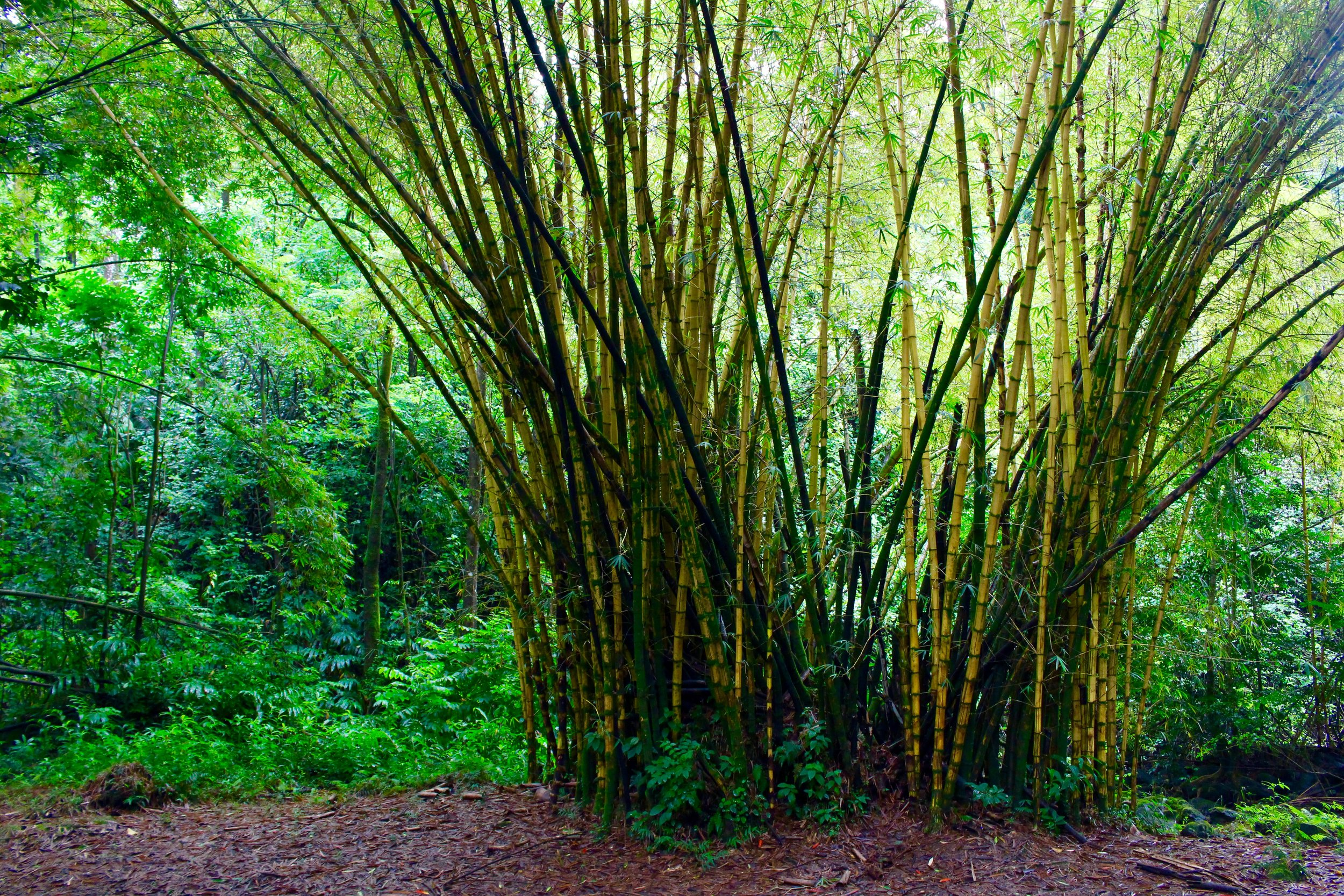 A patch of golden bamboo.