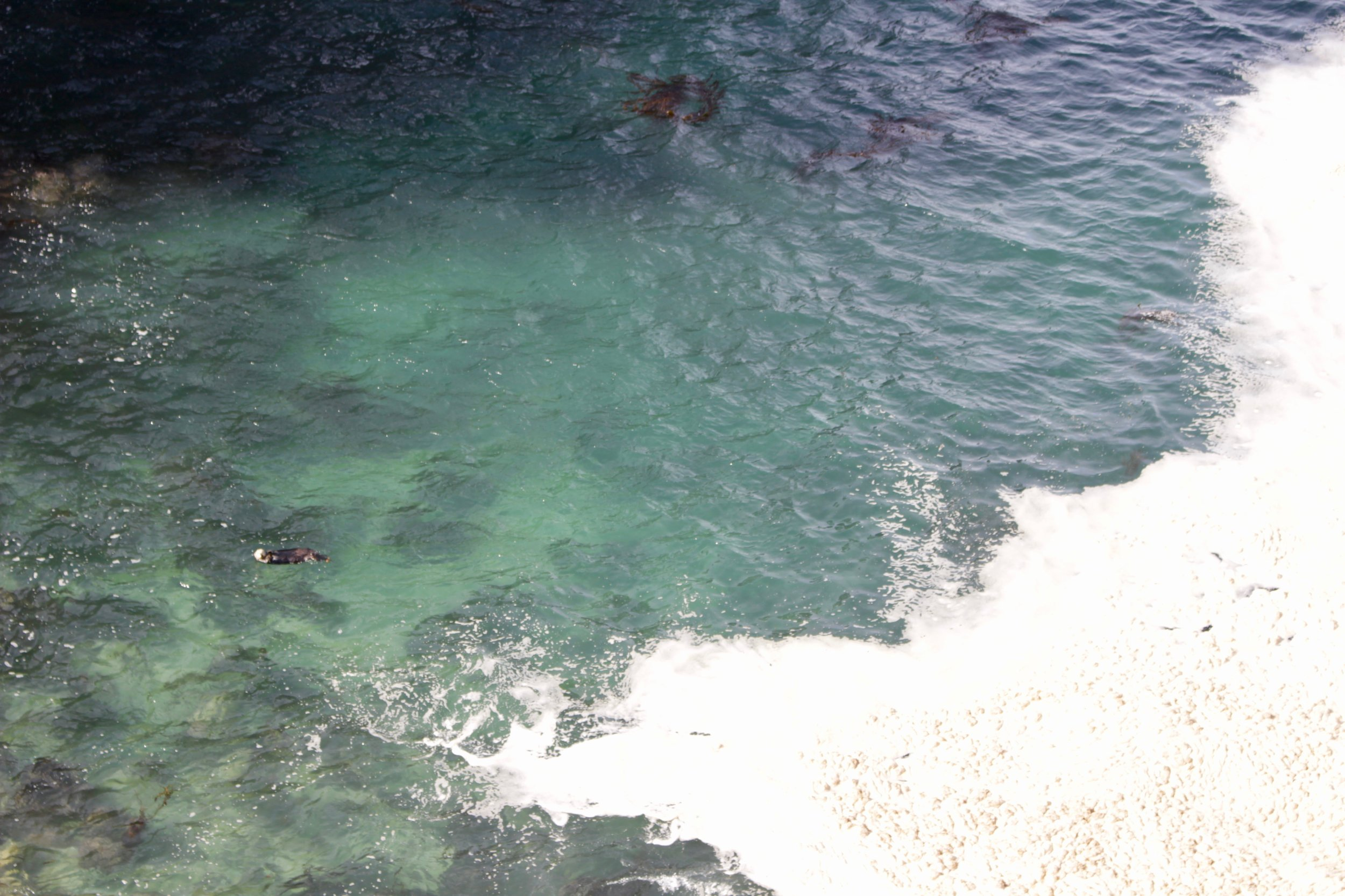 It's a bit hard to see, but that's a sea otter in the water!