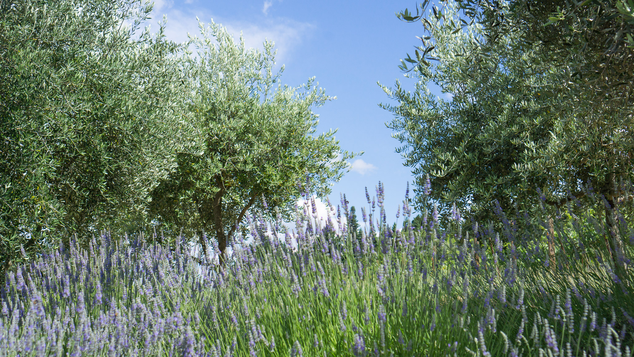 I couldn't get over the fresh lavender fields in the area!