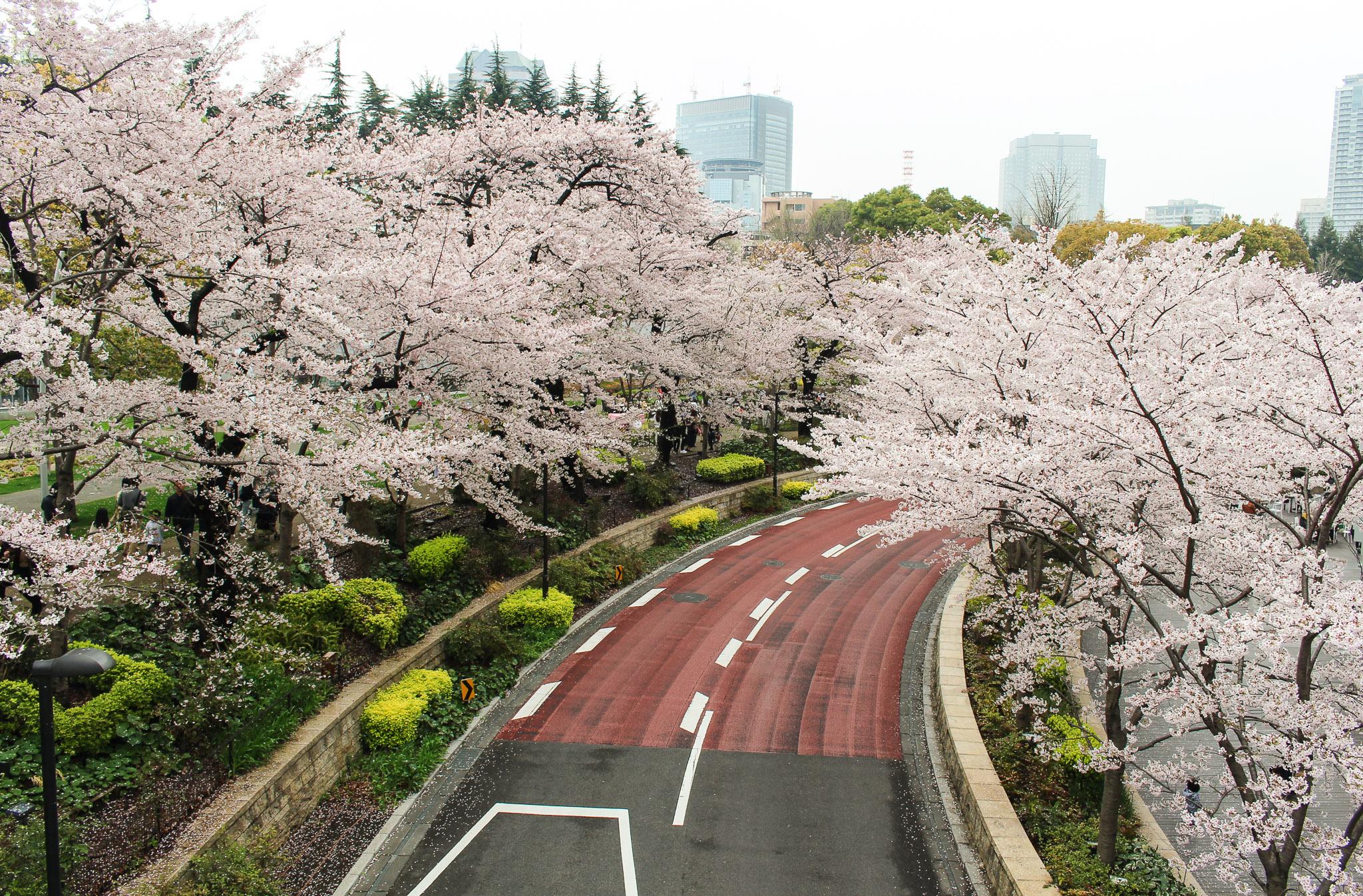 It's cherry blossom season.