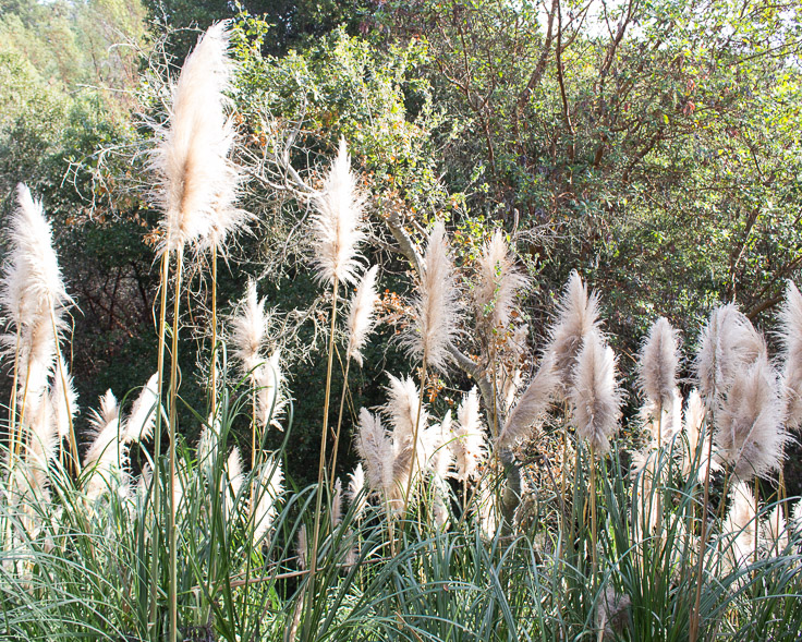 This invasive plant looks like a bunch of giant feathers. I love it!