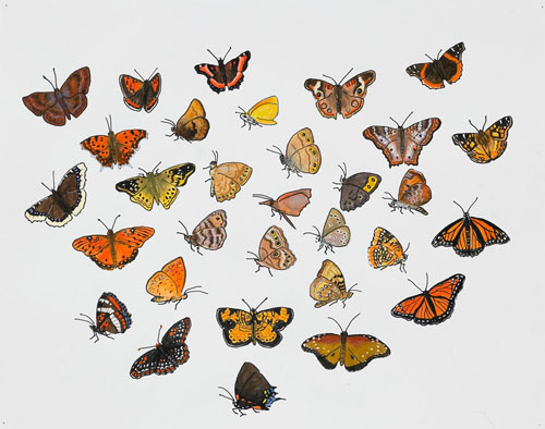 """Post-Audubon, Insects of North America, Butterflies,  2007  19"""" x 24"""" Sharpie/watercolor on paper"""
