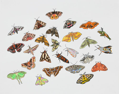 """Post-Audubon, Insects of North America, Moths,  2007  19"""" x 24"""" Sharpie/watercolor on paper"""